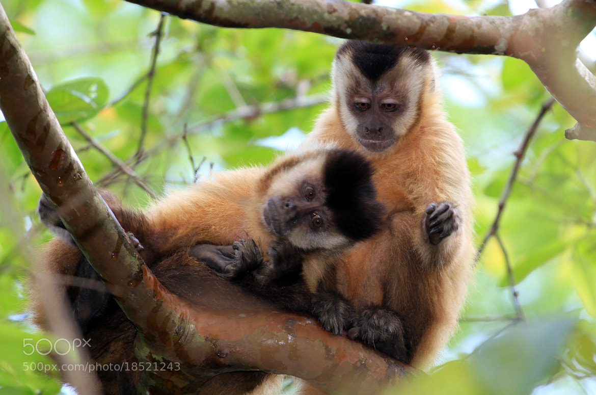 Photograph Capuchin monkey!! by Itamar Campos on 500px