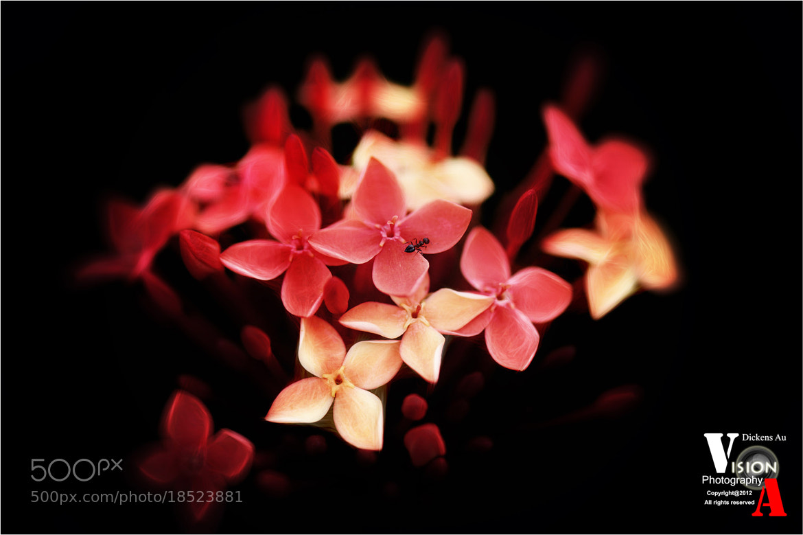Photograph red ant by Dickens Au on 500px