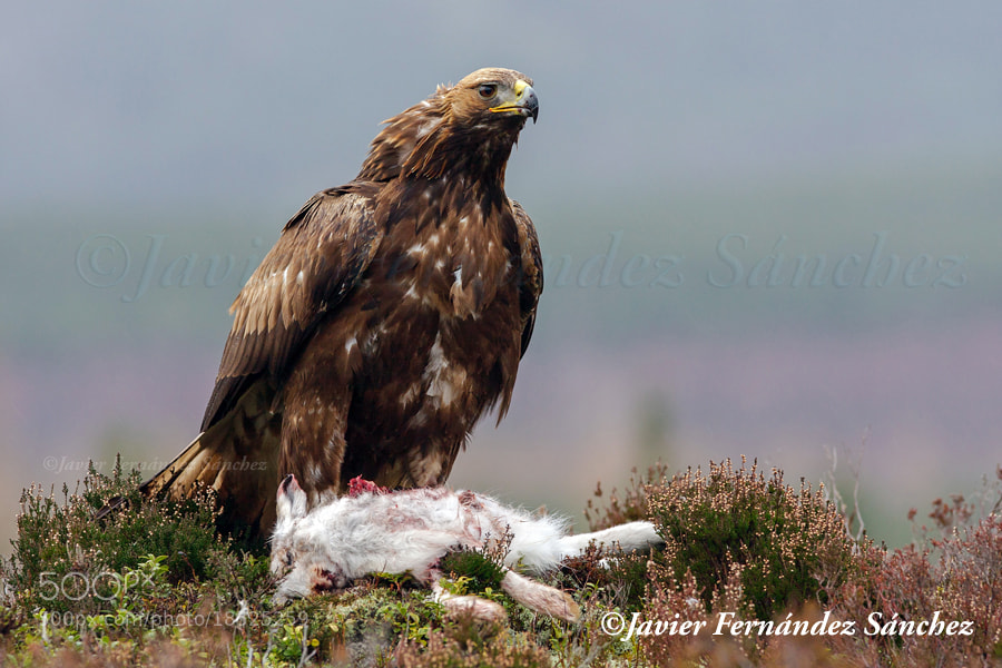 Photograph Golden eagle II by Javier Fernández Sánchez on 500px
