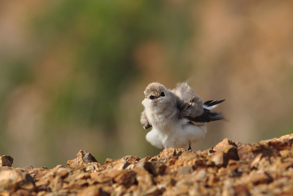 Photograph  SmallPratincole by Tea Maeklong on 500px