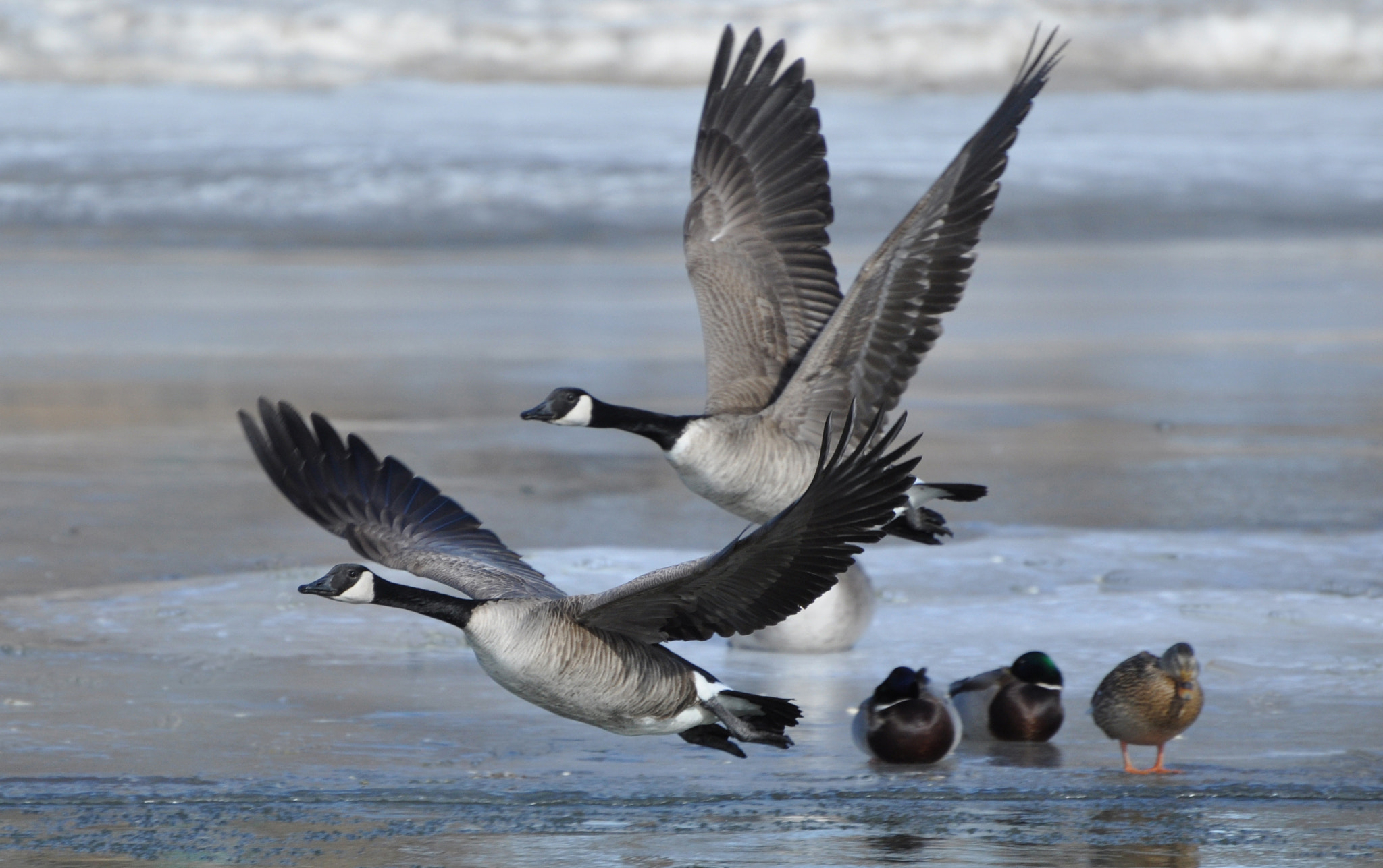 Photograph canadian geese by bob perkins on 500px