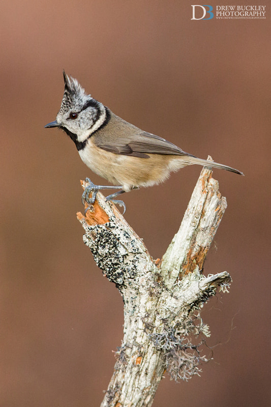 Photograph Crested Tit - Lophophanes Cristatus by Drew Buckley on 500px