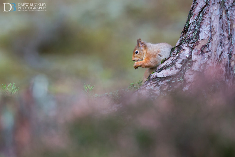 Photograph Red Squirrel  - Heather'n'Pine by Drew Buckley on 500px