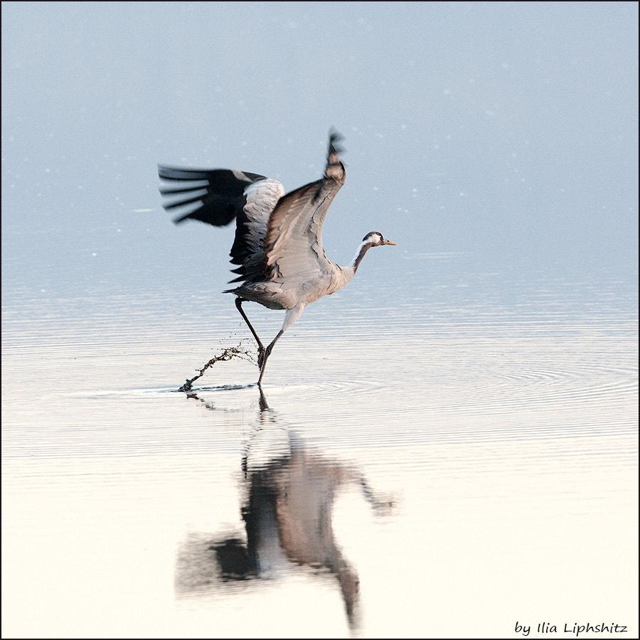 Morning cranes №31