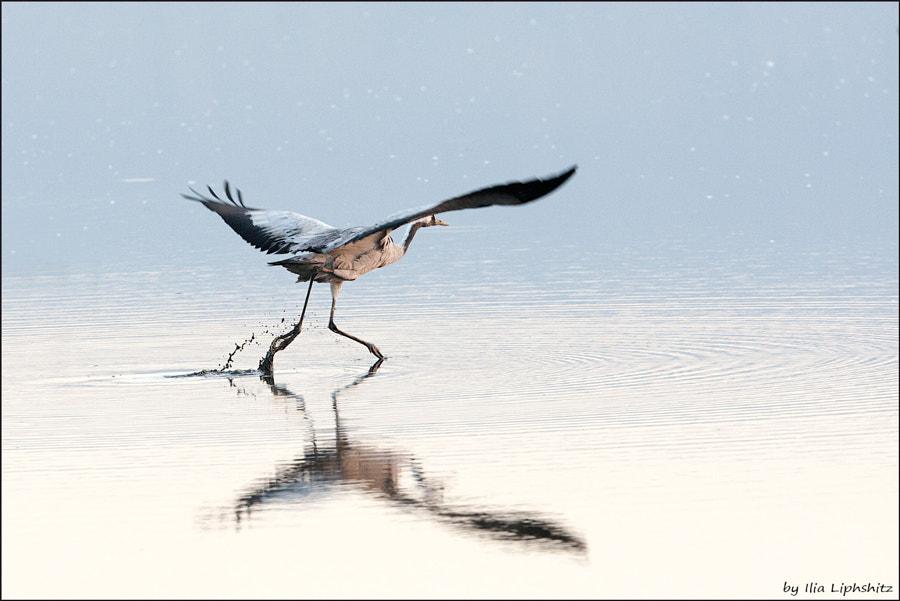 Morning cranes №32