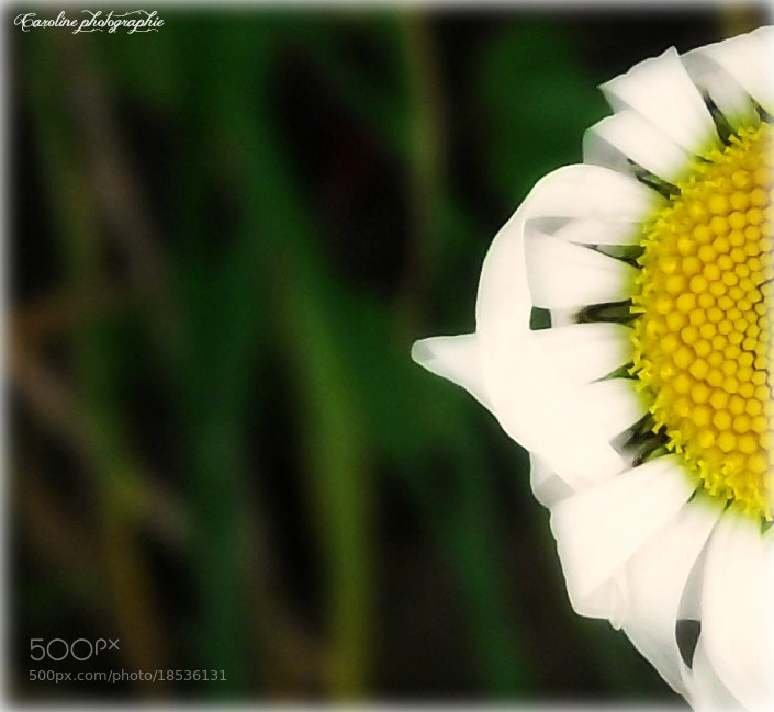 Photograph marguerite by Caroline Mcgraw on 500px