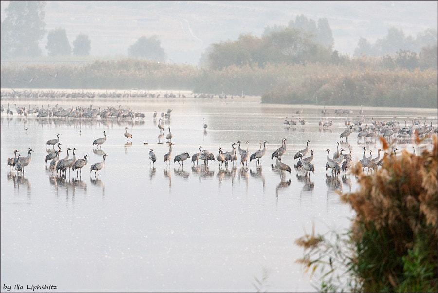 Morning cranes №34