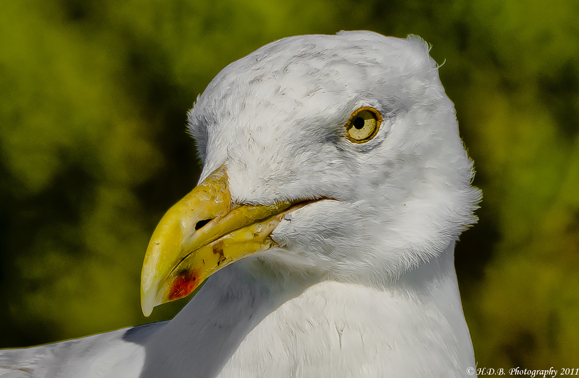 Photograph Portrait Of A Gull by Harold Begun on 500px