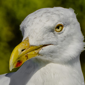 Portrait Of A Gull by Harold Begun (HaroldBegun)) on 500px.com