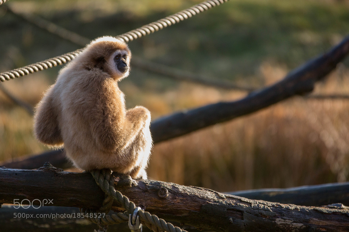 Photograph White-handed Gibbon by Lars Barstad on 500px