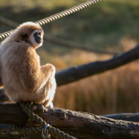 White-handed Gibbon by Lars Barstad (lars5)) on 500px.com