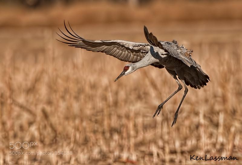 Sandhill Crane taken at Bosque del Apache, New Mexico