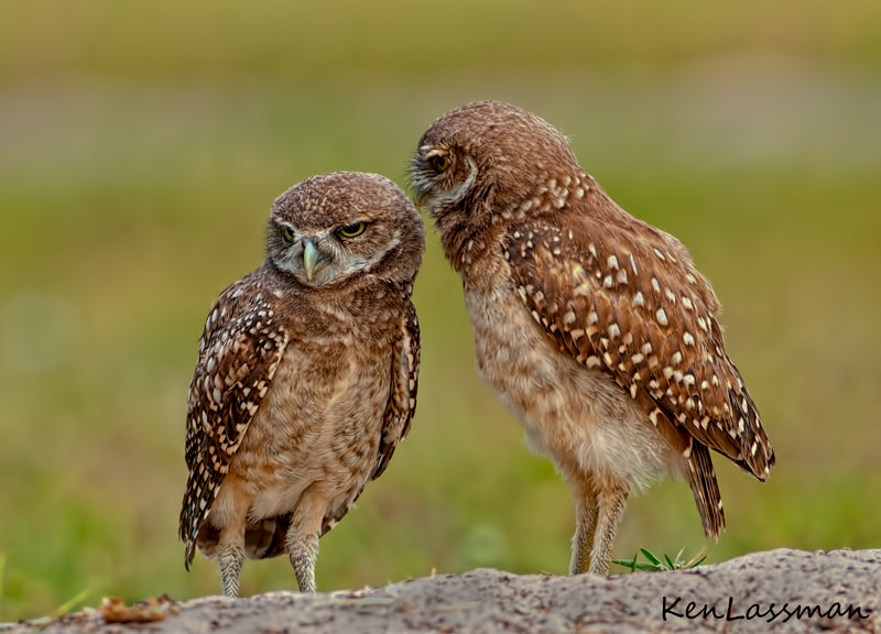 Burrowing Owls having a private conversation?