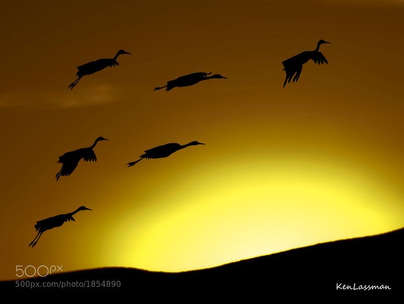 Sandhill Cranes at Bosque Del Apache, NM