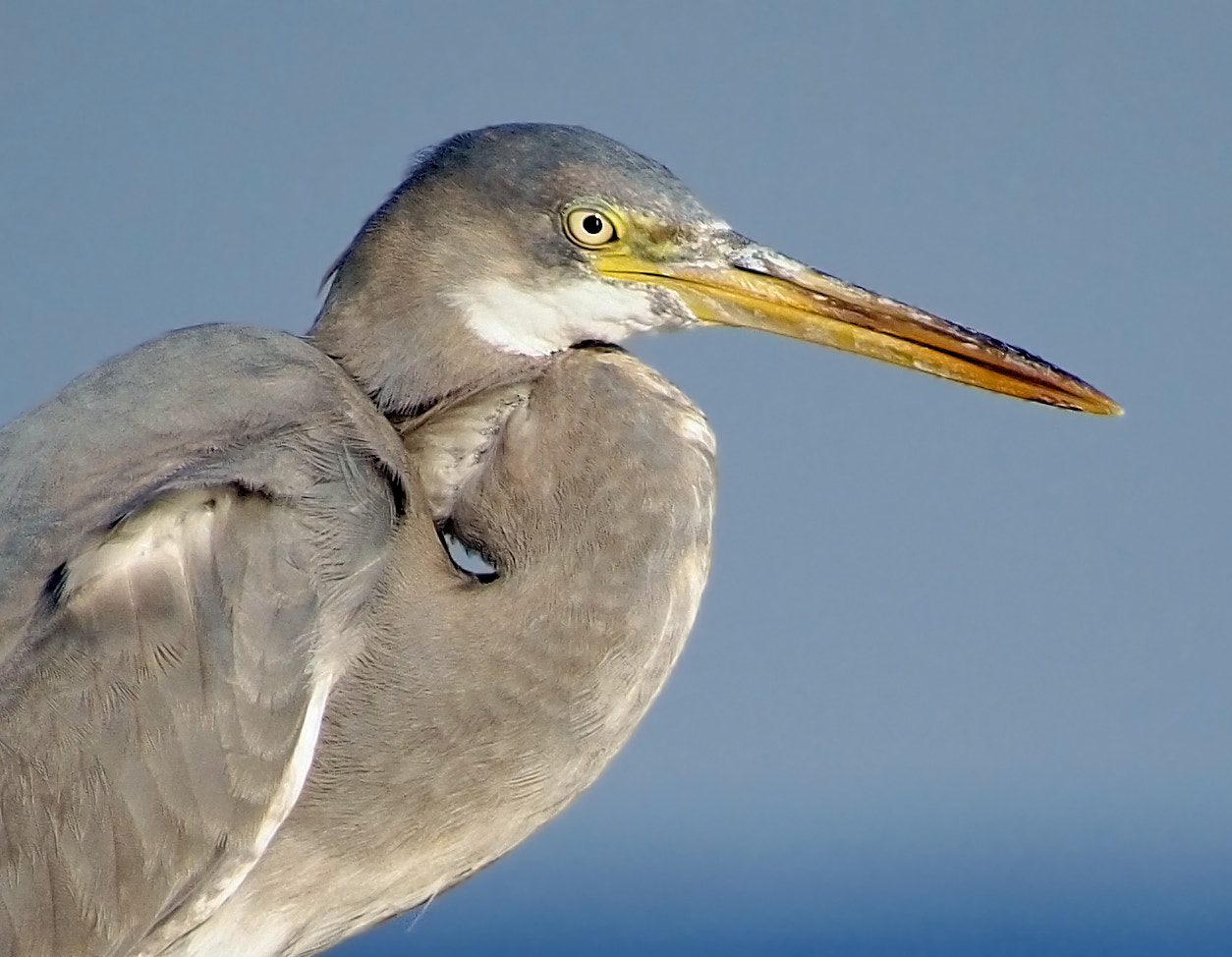 Photograph Western reef heron by ammadoux on 500px
