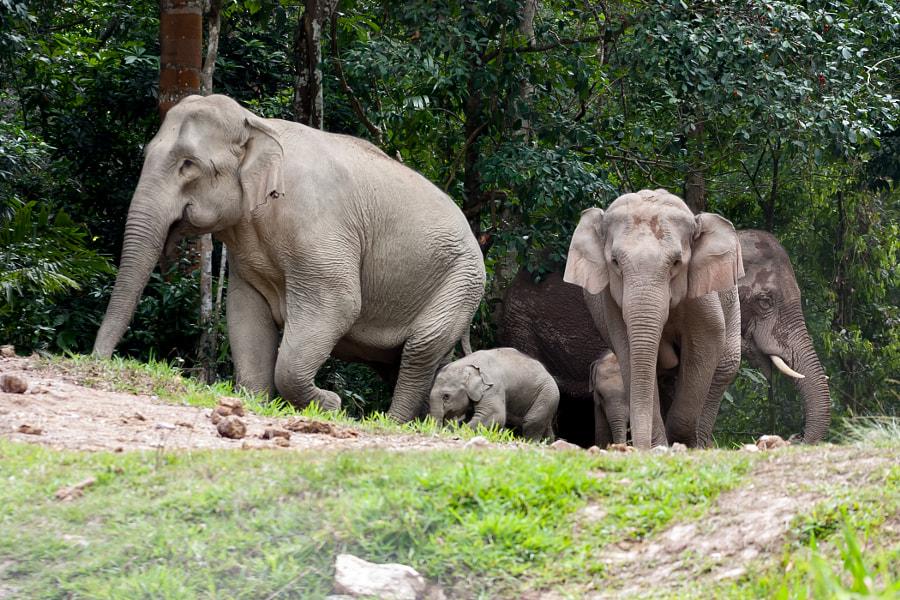 Wild elephants by Bird BBirdNok on 500px.com