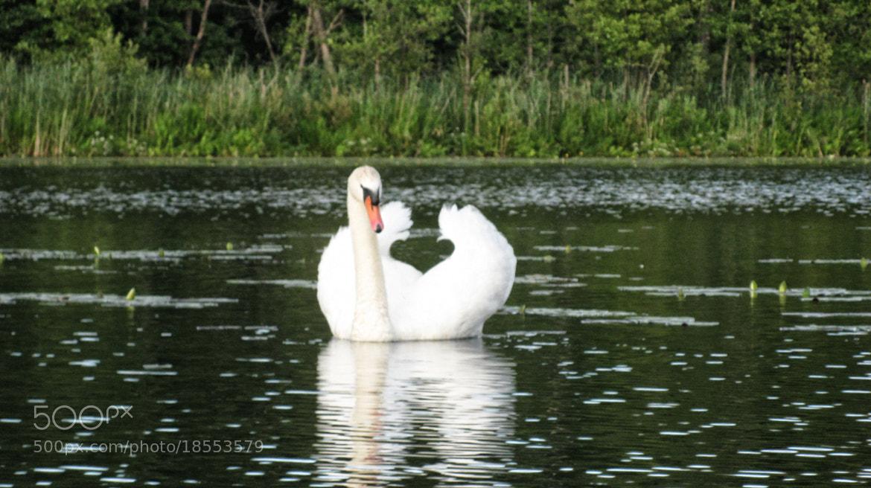 Photograph White swan by Lidija Karpova on 500px
