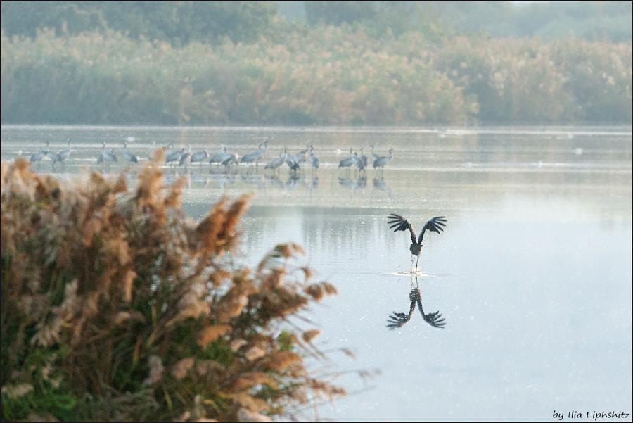 Morning cranes №35