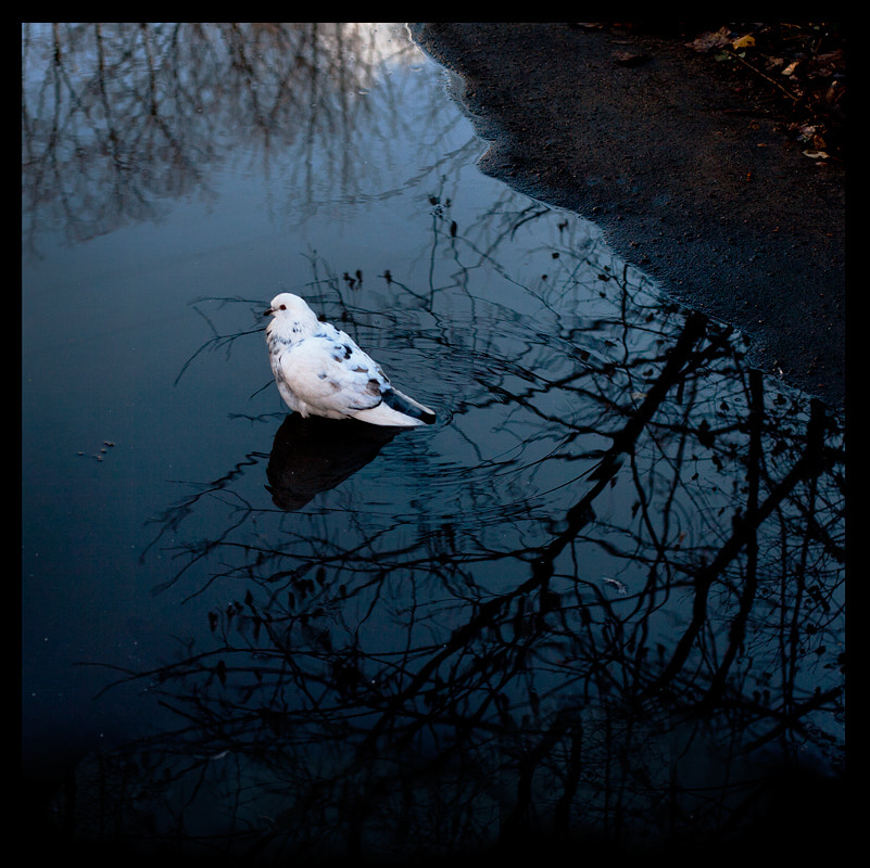 Photograph white dove in the puddle by Alexander Kazantsev on 500px