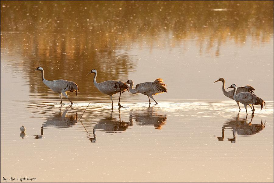 Morning cranes №36