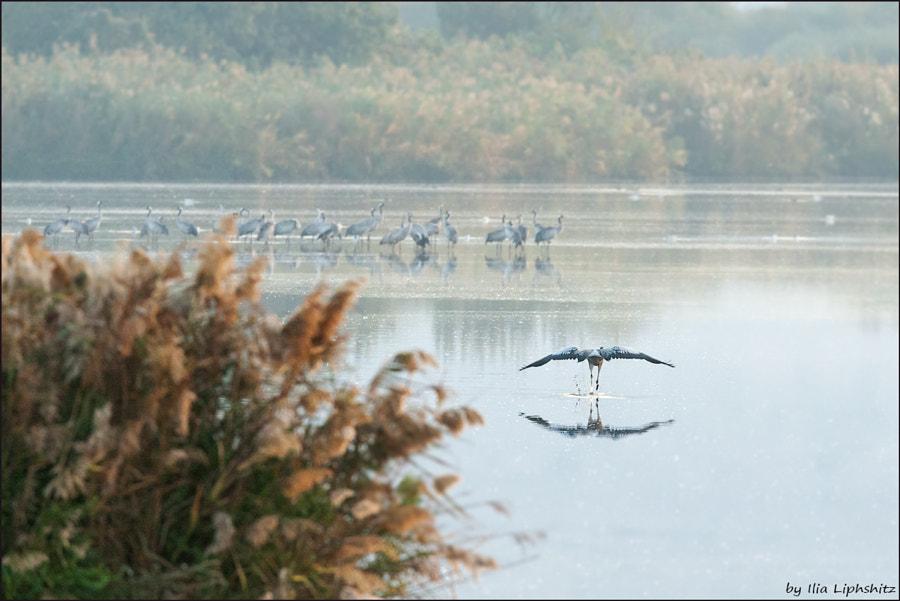 Morning cranes №37