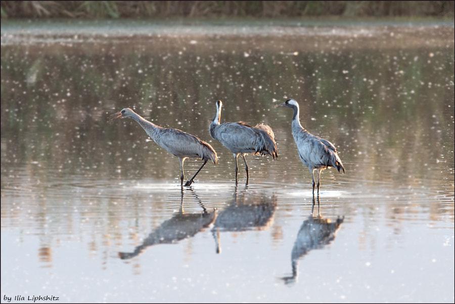 Morning cranes №38
