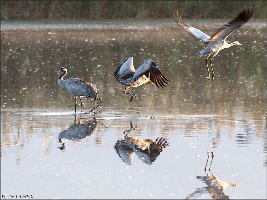 Morning cranes №39