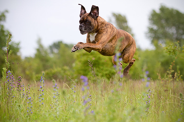 Photograph Flying Boxer by Jessica Lipki on 500px