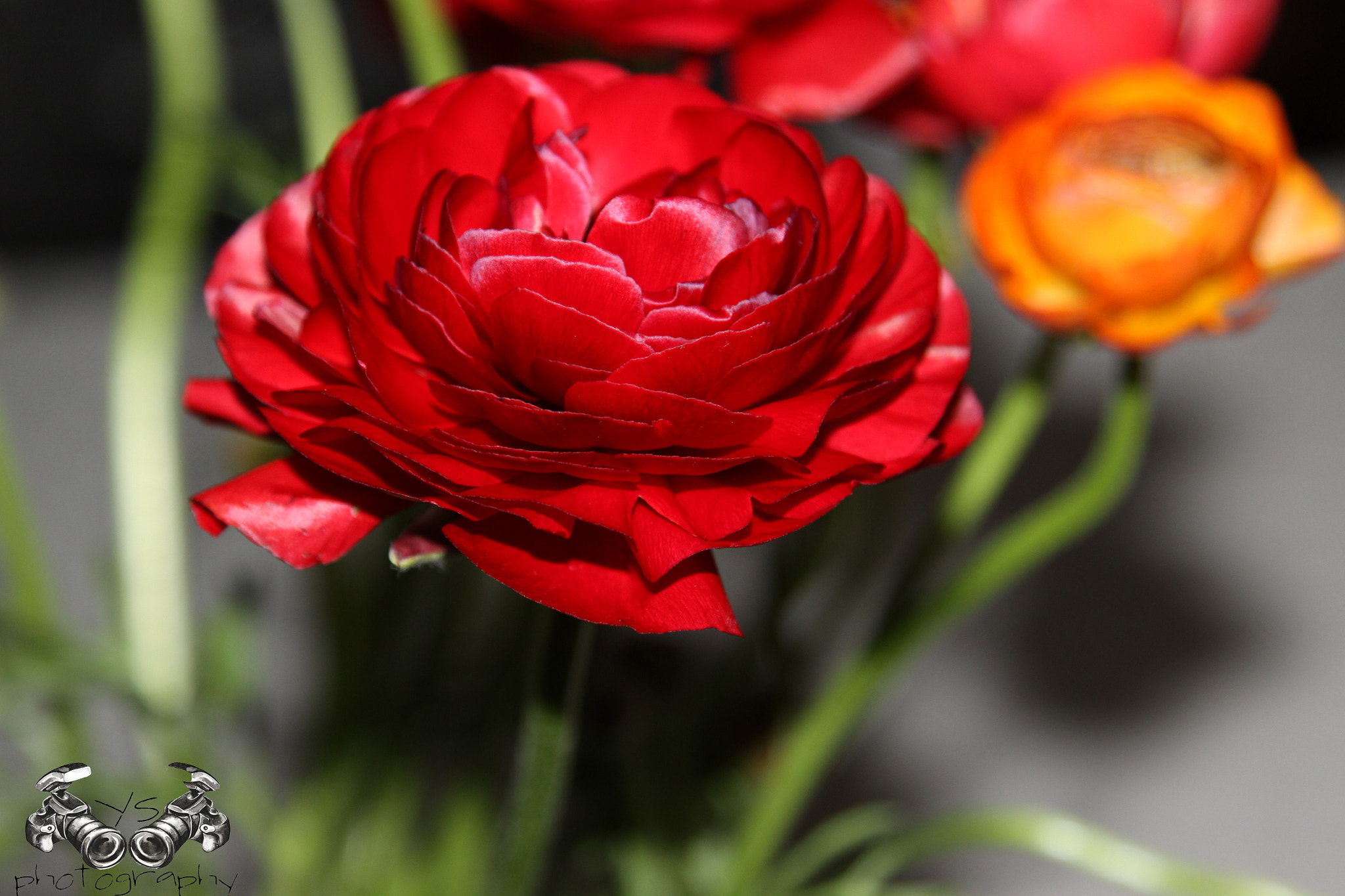 Photograph Rose by yuval shohat on 500px
