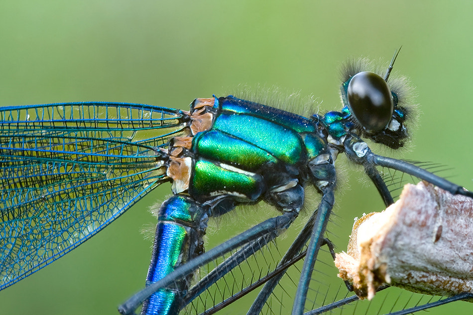 Photograph Black Damselfly - Calopteryx maculata by Erhan Dayi on 500px
