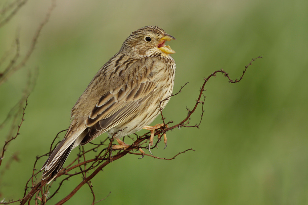 Photograph Corn Bunting (miliaria calandra) by Neil Smith on 500px