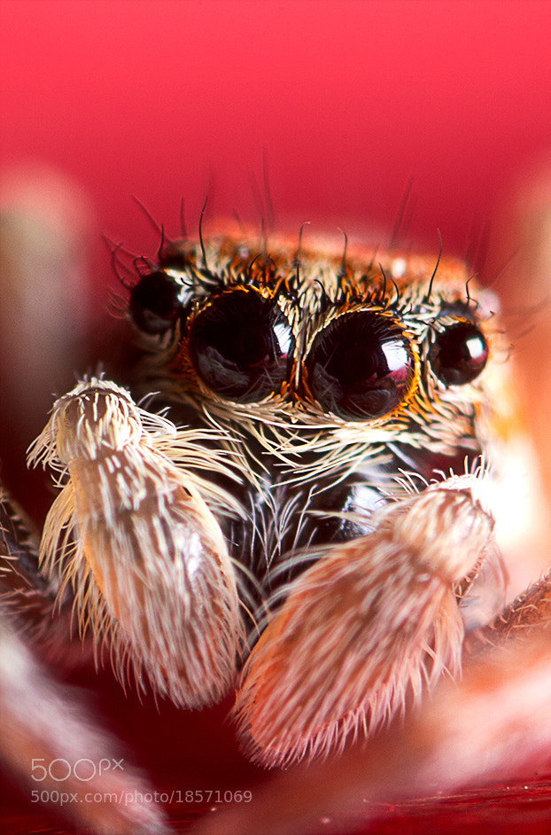 Photograph Jumping Spider by Erhan Dayi on 500px