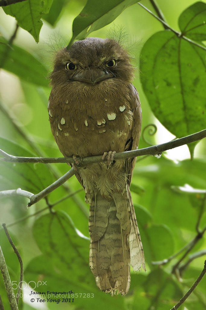 Photograph Javan Frogmouth by TeeYong on 500px