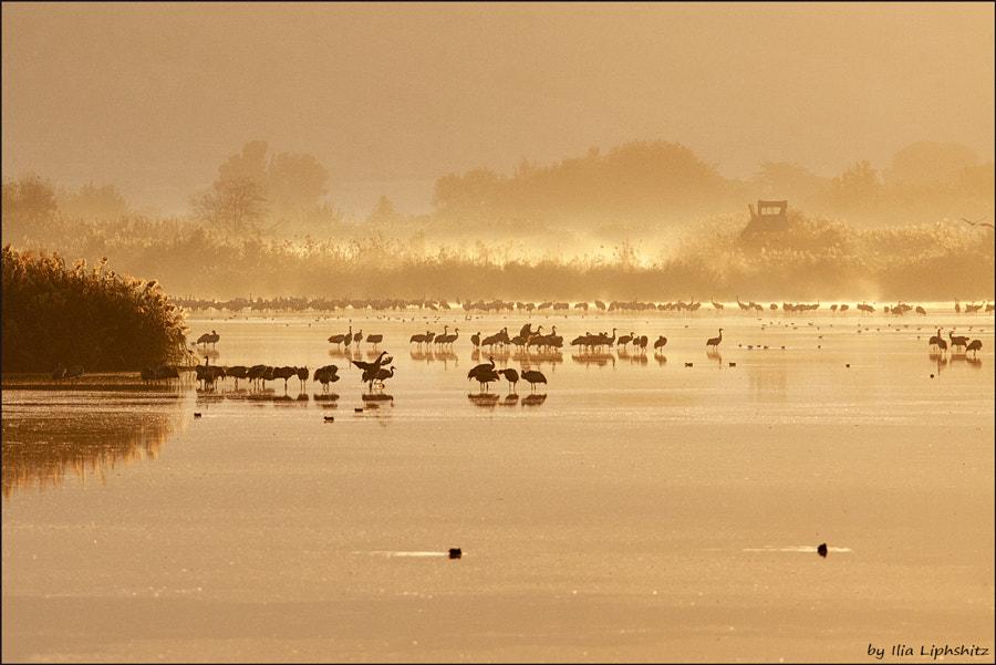 Morning cranes №40