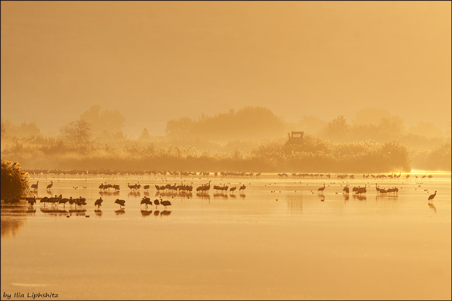 Morning cranes №41