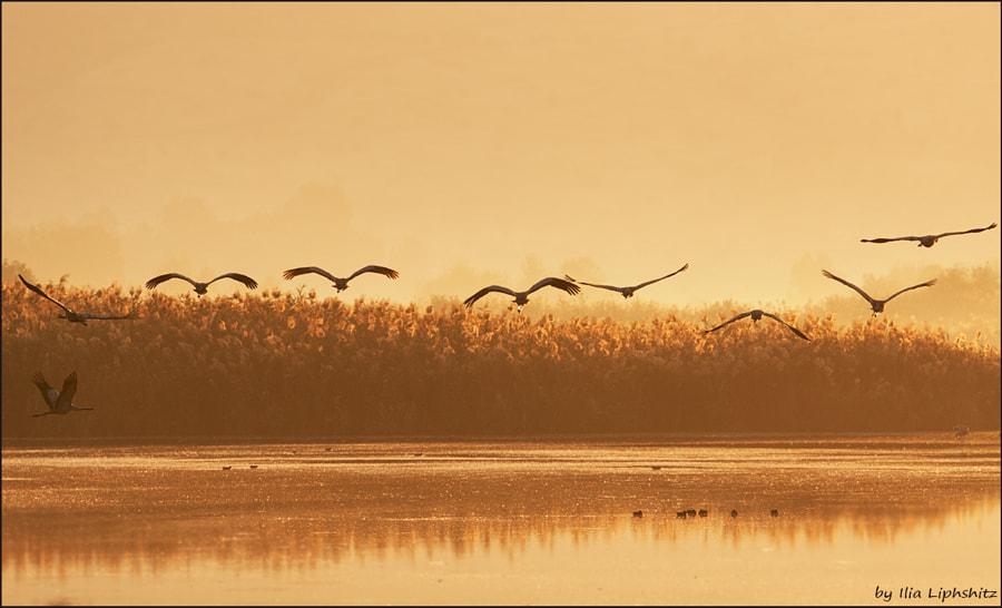 Morning cranes №42