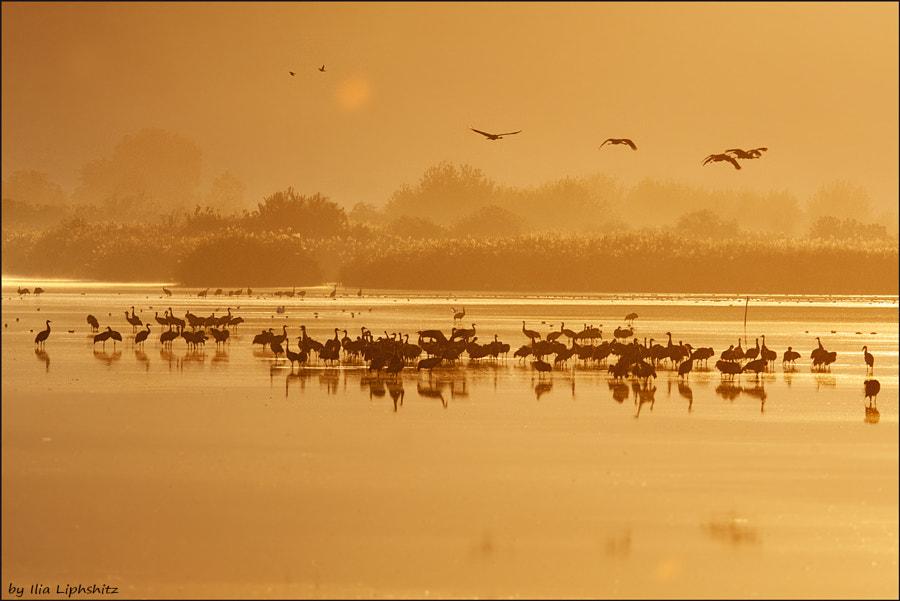 Morning cranes №44