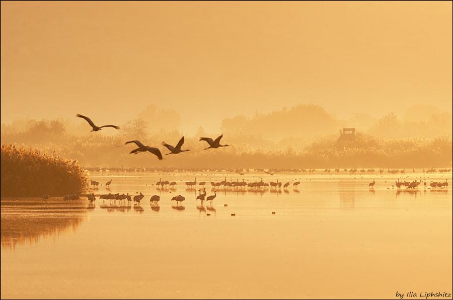Morning cranes №43