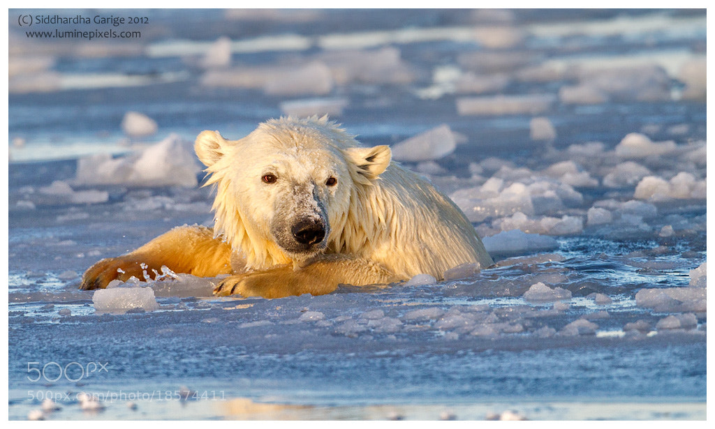 Photograph Ice Bears of Arctic - 5 by Siddhardha Garige on 500px