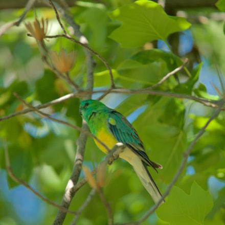 Red-rumped Parrot (Psephotus haematononus) Perruch
