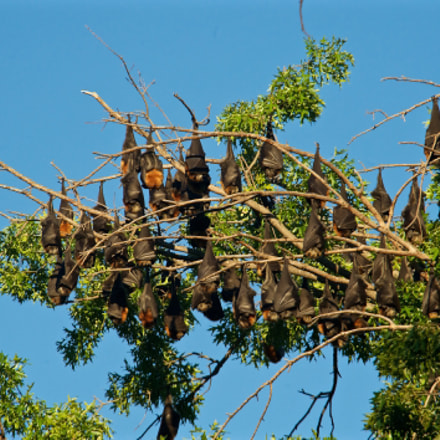 Fruit bats hanging