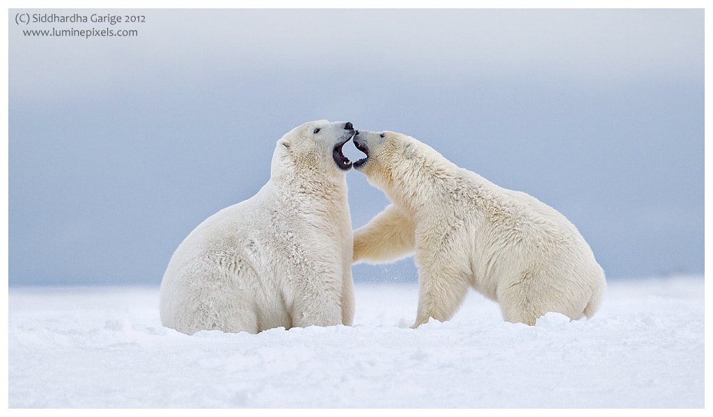 Photograph Ice bears of Arctic - 6 by Siddhardha Garige on 500px
