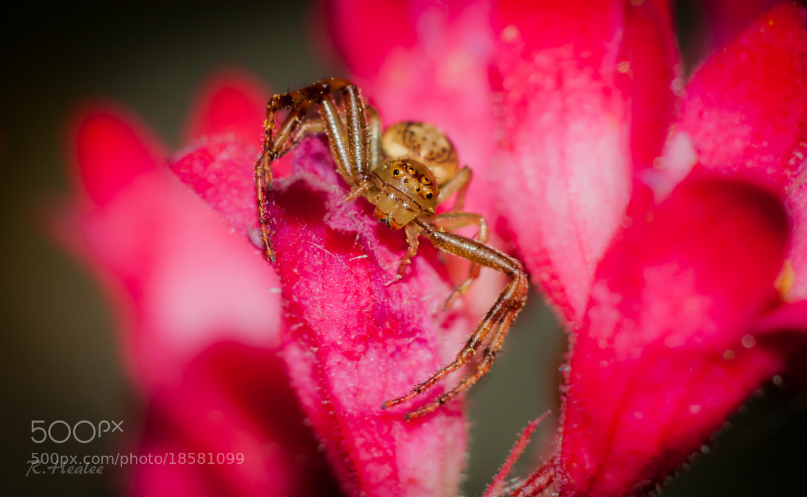Photograph little spider by Rebecca Healee on 500px