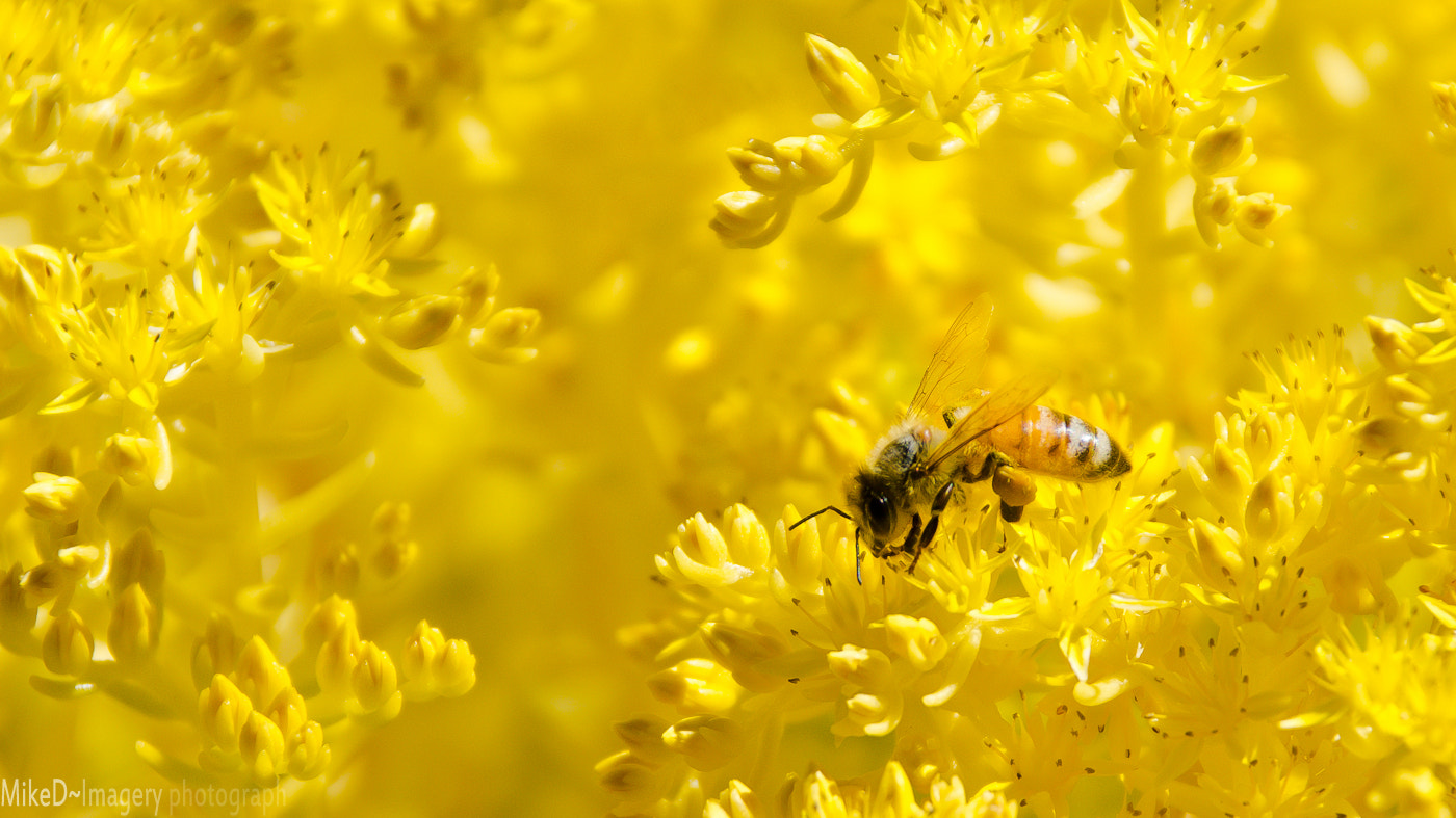 Photograph Yellow Bee by Mike D on 500px
