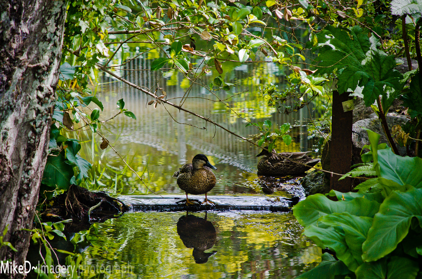 Photograph Urban ducks by Mike D on 500px
