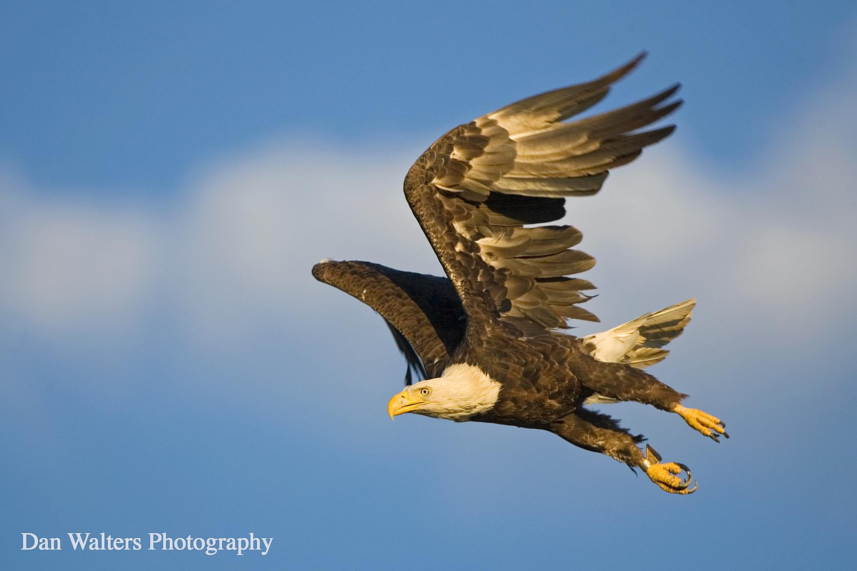 Photograph Bald Eagle by Dan Walters on 500px
