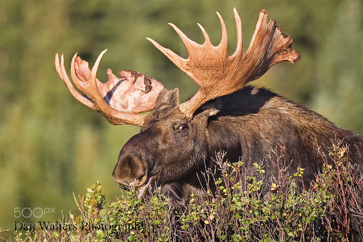 Photograph Moose by Dan Walters on 500px