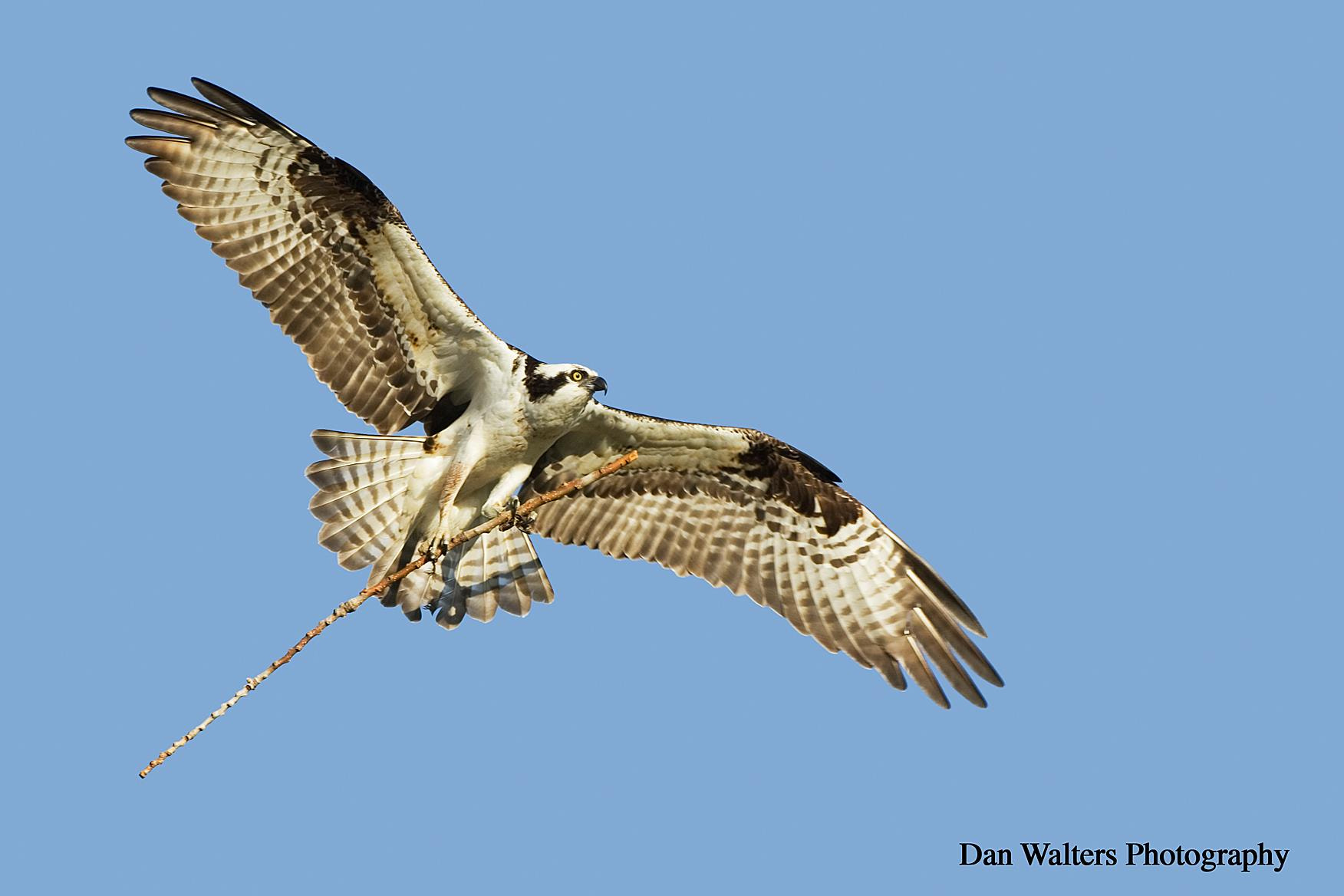 Photograph Osprey by Dan Walters on 500px