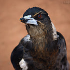 The Pied Butcherbird (Cracticus nigrogularis) is a medium-sized songbird native to Australia. It grows about 35 cm (14 in) long and has black and white plumage. The colour of juvenile birds, which are accompanied by their parents, is brown and white as seen in the picture. As they mature their brown feathers are replaced by black feathers. It is common in woodlands and in urban environments. Its diet consists mostly of small vertebrates and insects. They have been known to accept food from humans.
