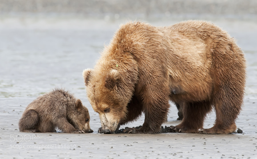 Mother and cub are out for a morning of crabbing along the beaches of Katmai.